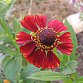 Les hélénies peuvent être utilisées en fleurs coupées...