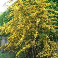Frémontodendron de Californie • Fremontia californica