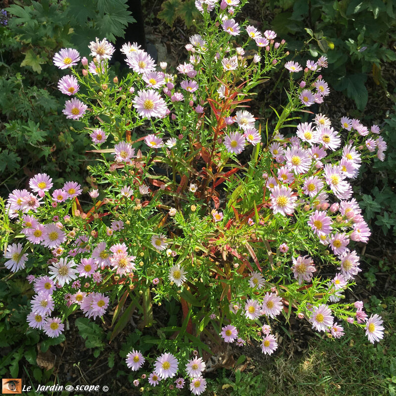 Aster-Ericoides-Cyrille-2