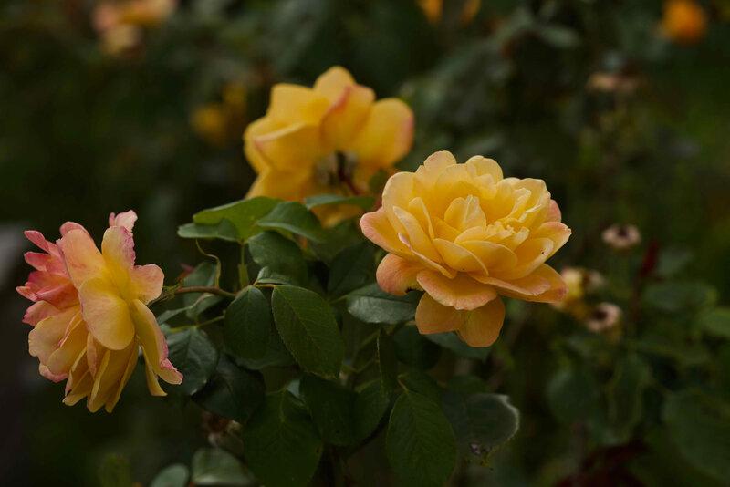 dernieres roses - 1