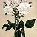 Le Journal des Roses (avril 1884) : 'Félicité et Perpétue'