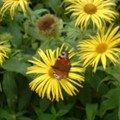 Kylemore papillon
