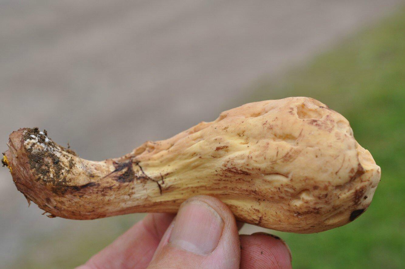 Clavariadelphus pistillaris (2)