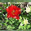 balanicole_2017_05_le printemps des tulipes_22_rouge prunier