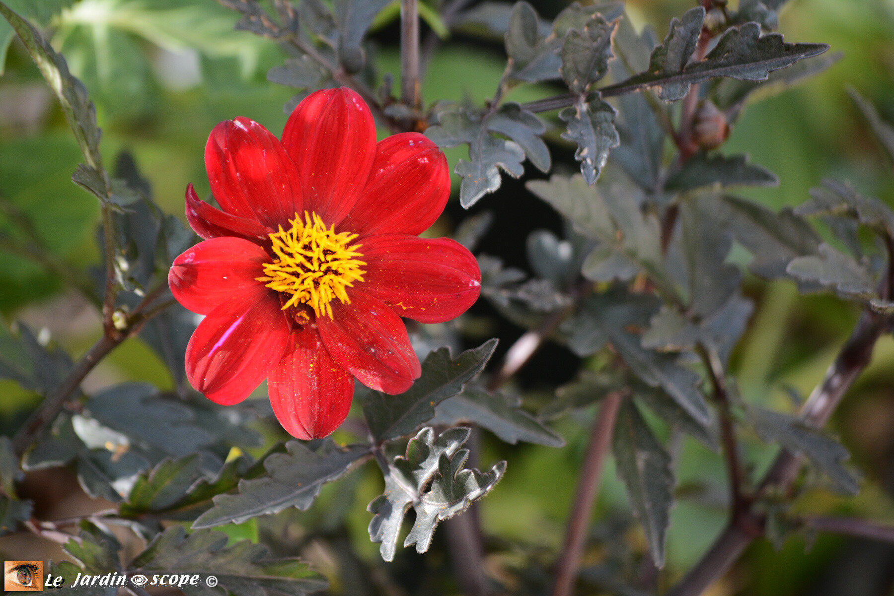 Dahlia simple A la Folie