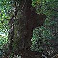 Un arbre sanglier