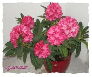 Rhododendron_1