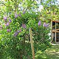 mi mai (12)floraison du lilas