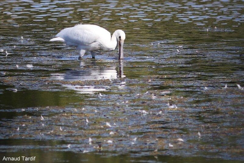 001649 Larmor-Baden - Le Golfe du Morbihan - L'étang de Kercadoret à St Philibert