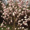 avril 2010 magnolia