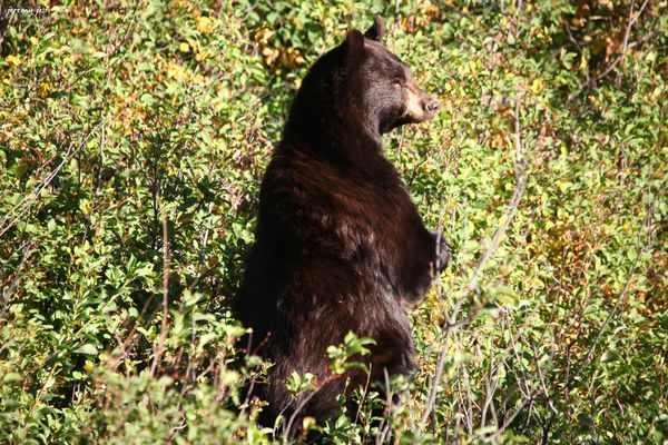 black bear glacier NP
