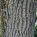 Frêne pleureur • Fraxinus excelsior 'Pendula' • Oleaceae