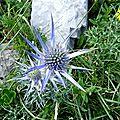 Chardon bleu des Pyrénées