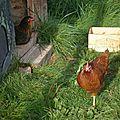 Un coq pour nos poules !