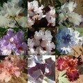 Iris blanches ou roses