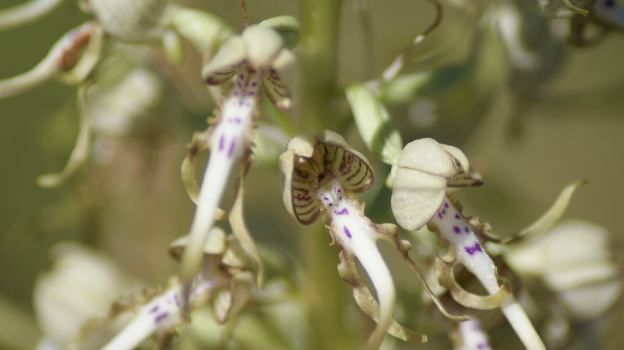=orchis platanthera 82