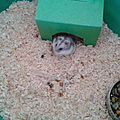mon hamster russe