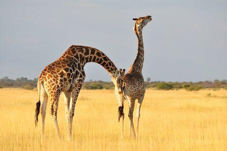 Girafes de l'Angola, parc d'Etosha, Namibie