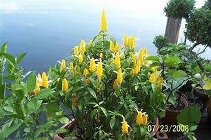Pachystachys jaune6