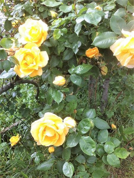 fleurs roses 2