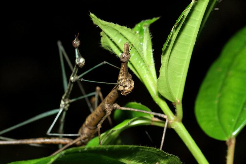 Proscopia scabra (mâle et femelle)