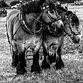 Boeschepe,des chevaux et des hommes...