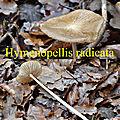 Hymenopellis radicata