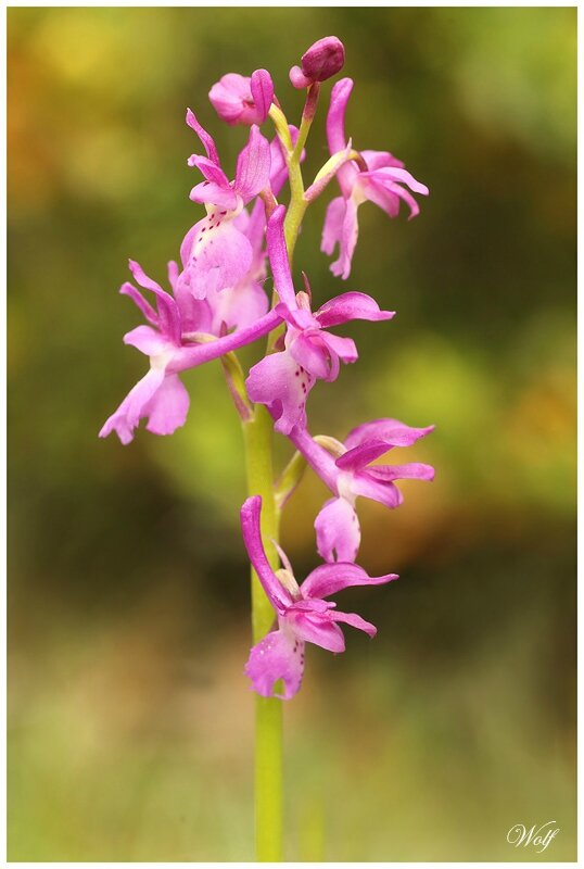 orchis-male-16-01