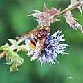 Volucelle zonée (Volucella zonaria)