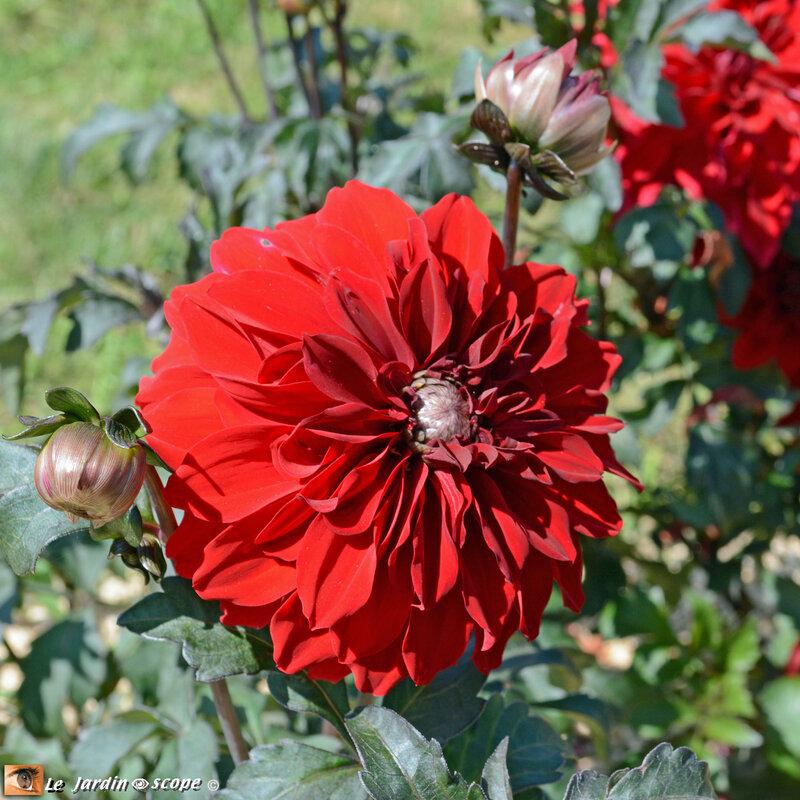 PAT_8024-Dahlias-Nova-Flore