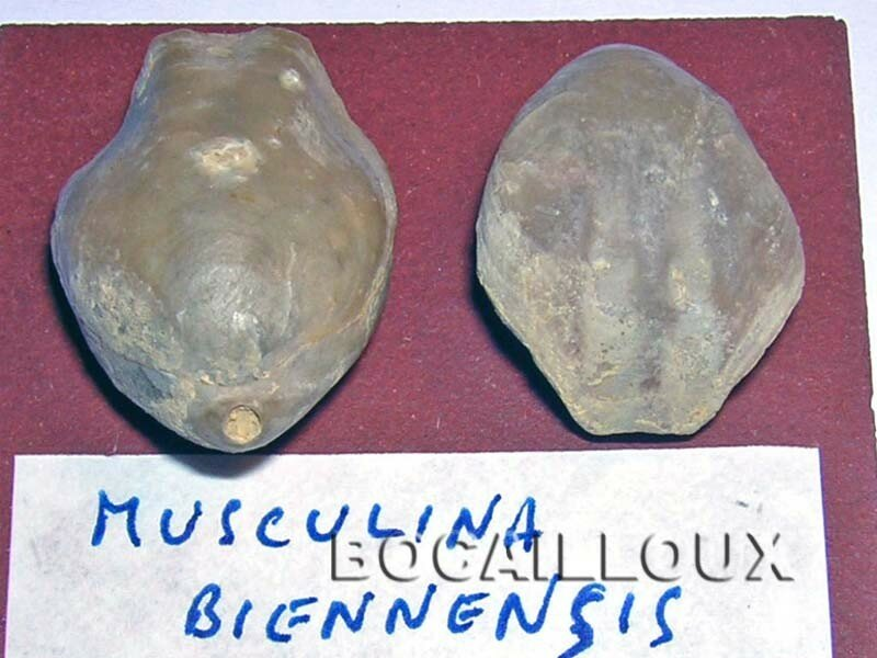 MUSCULINA BIENNENSIS 25.MOUTHIER