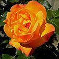 roses-mardi22 (4)