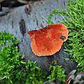 Pycnoporus cinnabarinus (1)