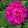 Rosier botanique 'Gallica'