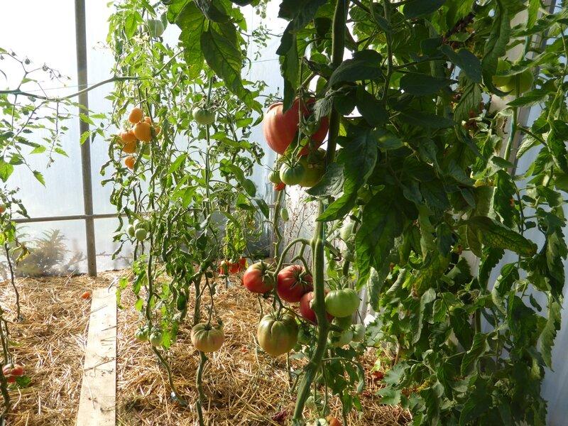 30-tomates serre (1)