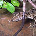 Nés au zoo de melbourne, des crocodiles des philippines retournent vers leur milieu naturel