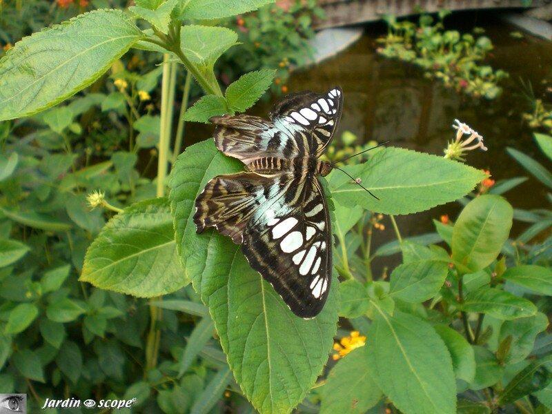 Parthenos sylvia lilacinus • Nymphalidae