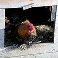 Poule au pondoir