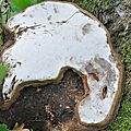 Ganoderma applanatum (1)