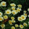 Anthemis x hybrida 'e.c. buxton'
