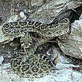 Le crotale diamentin de l'ouest/western diamondback rattlesnake