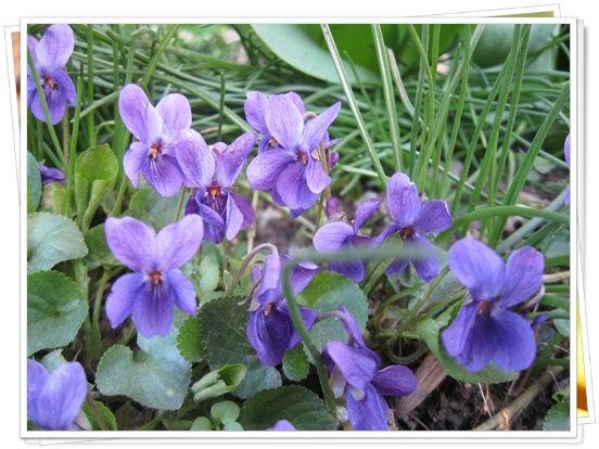 fleurs printemps (1)