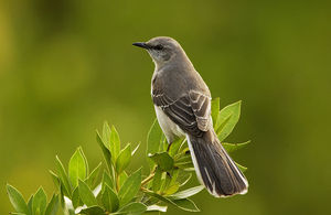 Mocking_Bird___Mimus_polyglottos1