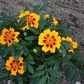 2009 07 04 Oeillet d'Inde en fleur