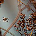 araignée Commelles