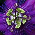 fleur-de-passion-19974523