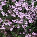 2009 05 17 Fleurs de saponaire, saponaria ocymoides
