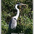 76 IMG_0901a heron gris 80pps