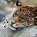 leopard beauval4