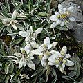 edelweiss (1)
